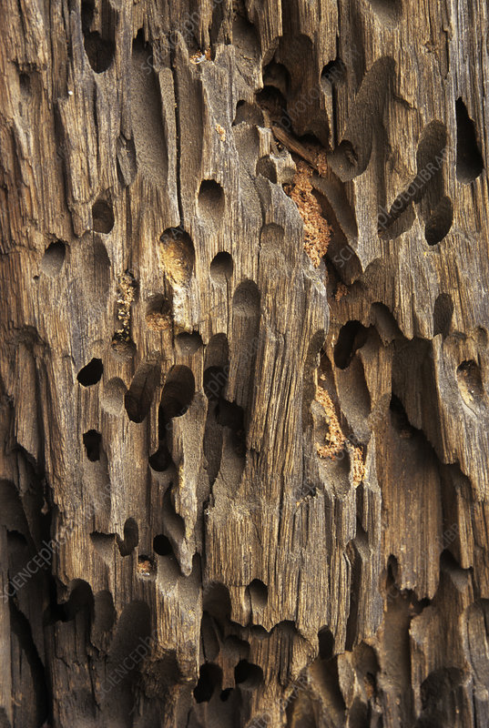 Carpenter Bee Nest