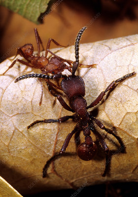 Ant War between Leaf-cutter and Army Ants