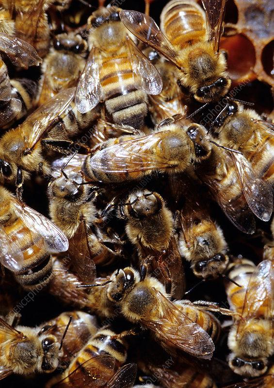 Honeybee Workers in their hive