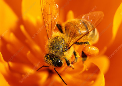 Honey Bee worker