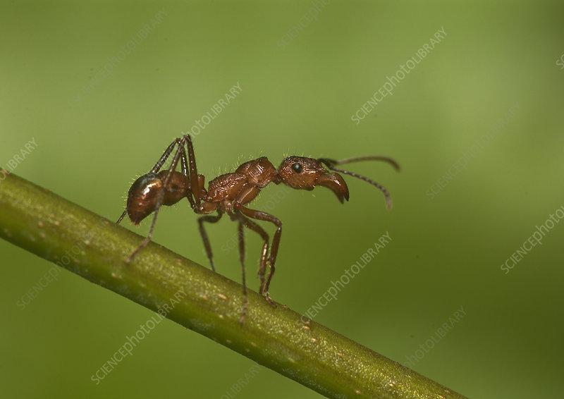 Kelep ant