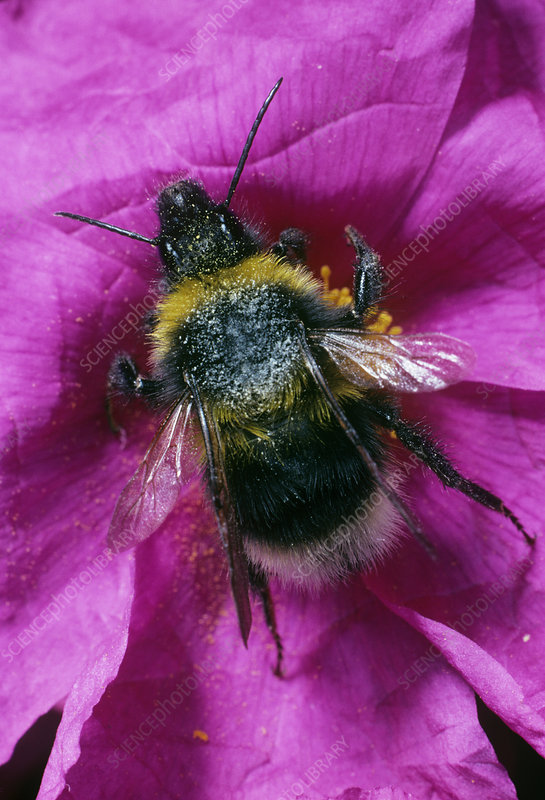 Bee on a cistus flower