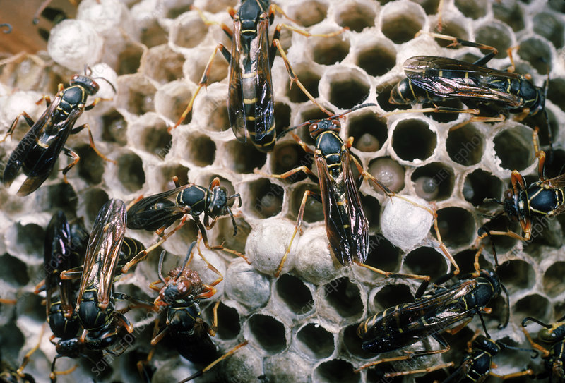 Paper Wasps at nest