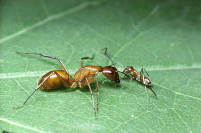 Ant queen and worker