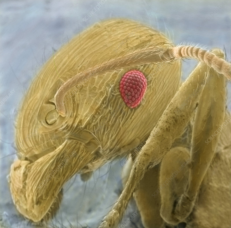 Black garden ant's head, SEM