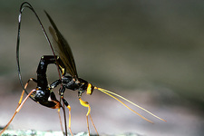 Ichneumon wasp laying an egg