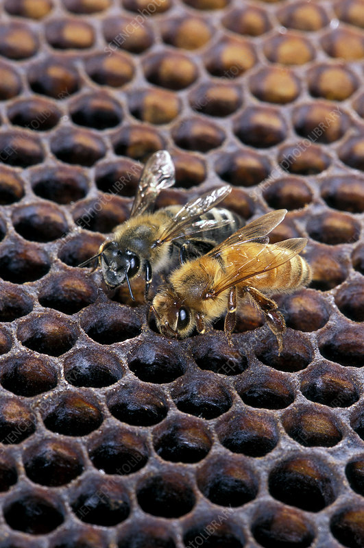 Africanised and European honey bees