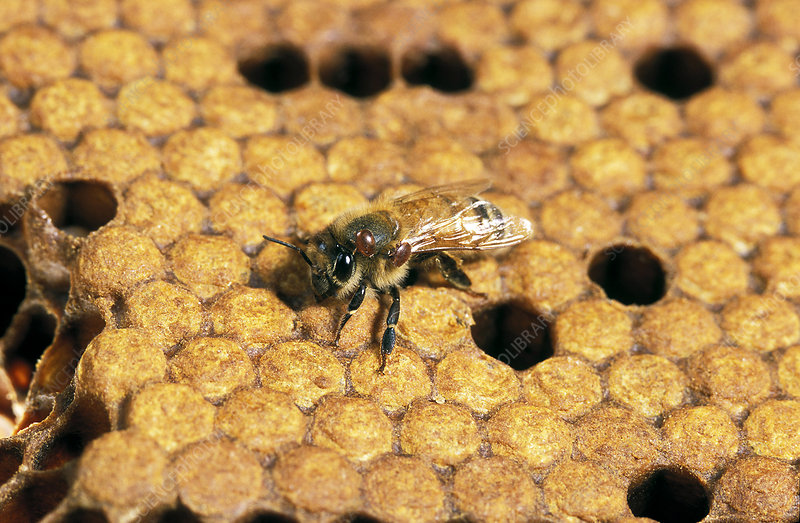 Honey bee with Varroa mites