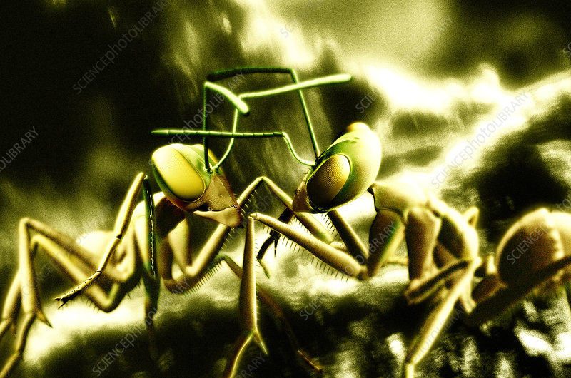 Ants fighting