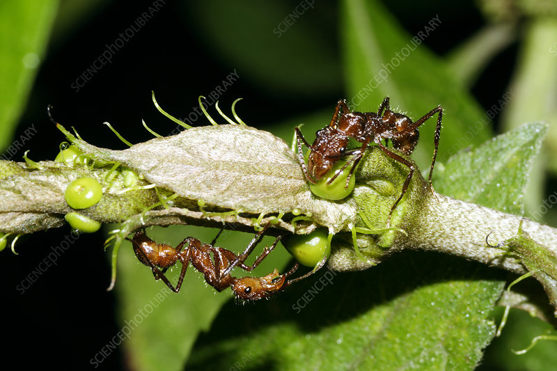 Ants collecting nectar