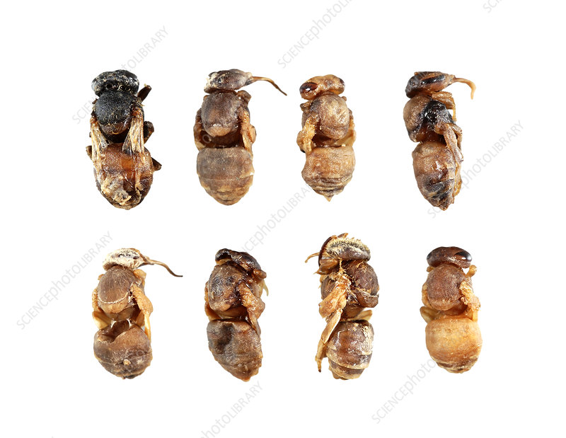 Deformed honeybee pupae