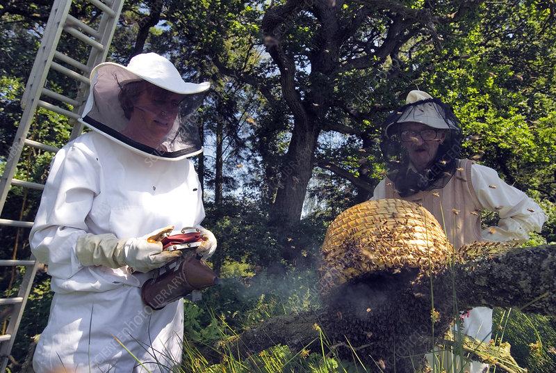 Beekeepers collecting swarming honeybees