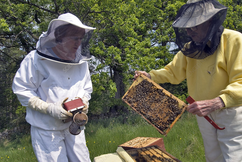 Beekeepers inspecting a beehive