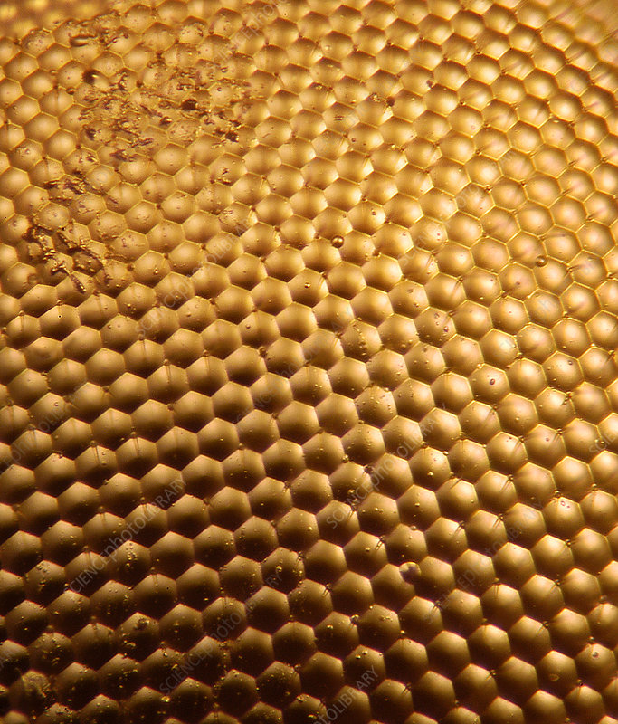 Honey Bee Eye