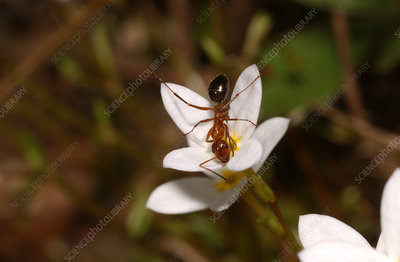 Ant and a Bluet Flower