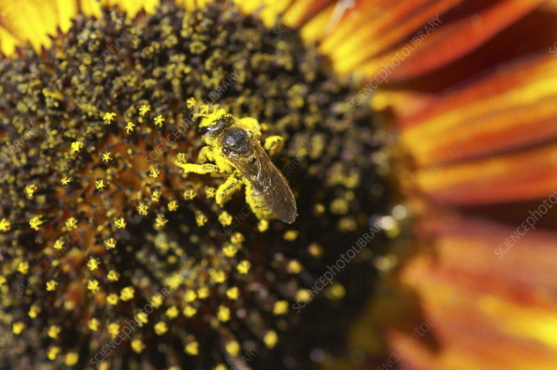 Honey bee pollinating a sunflower