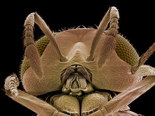 Head of a parasitic wasp, SEM