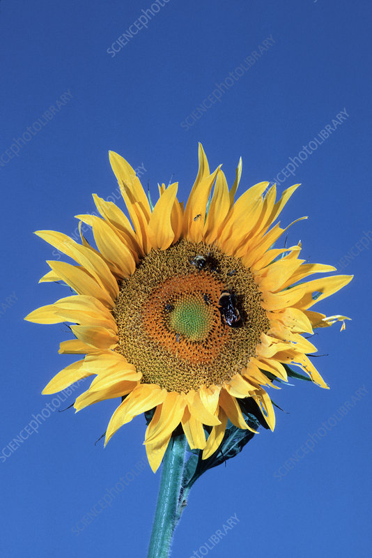 Bumblebees pollinating a sunflower