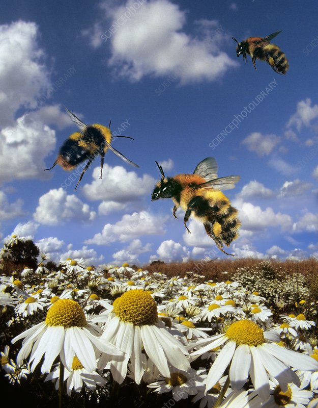 Carder bees in flight