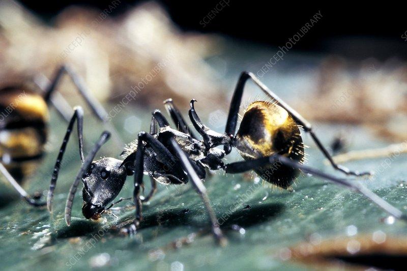 Polyrhachis laboriosa ant