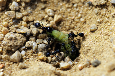Harvester Ants with prey (3 of 4)