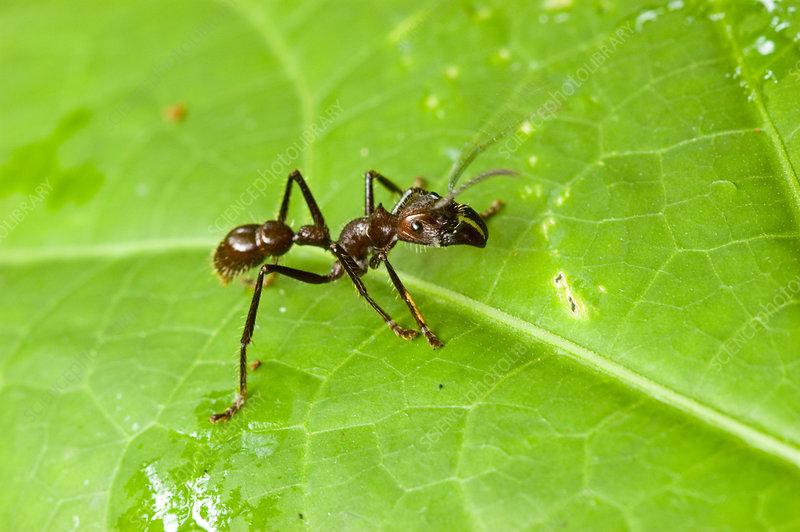 'Giant Hunting Ant, Peruvian Amazon'