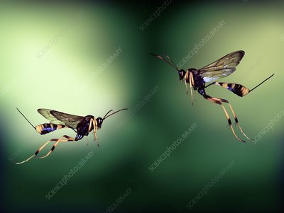Ichneumon wasps, high-speed photograph