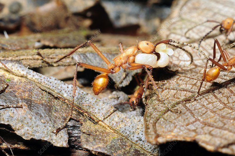 Ants carrying pupae and larvae