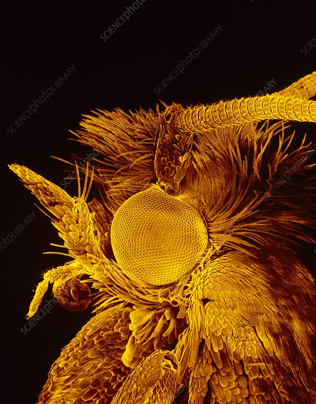 SEM of head of diamondback moth