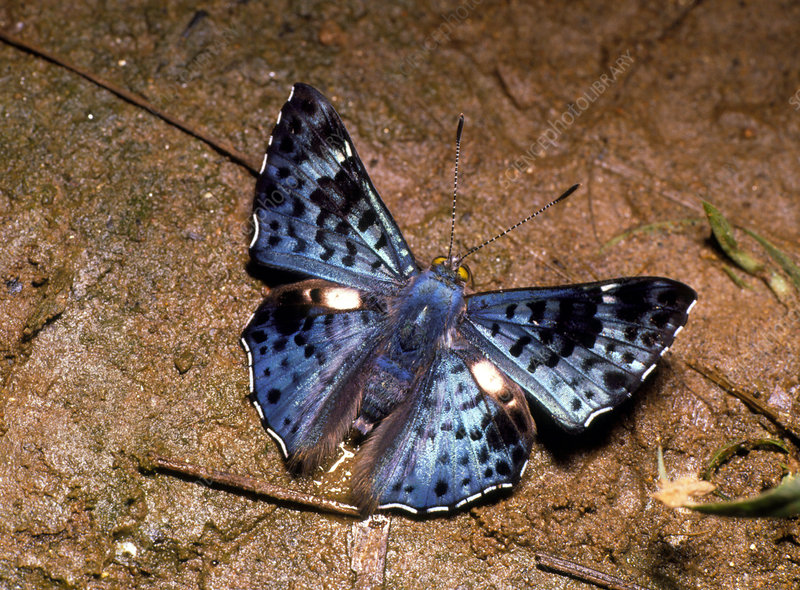 Blue and black metal-mark butterfly from Ecuador