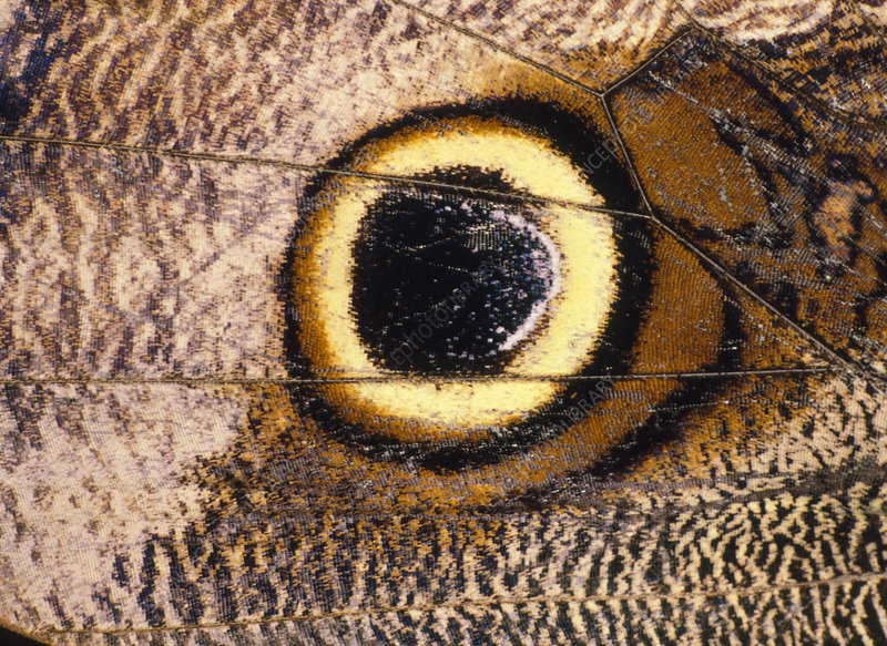 Eyespot on wing of butterfly, Eriphanis polyxena