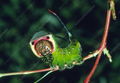 Defence posture of the caterpillar, Cerura vinula