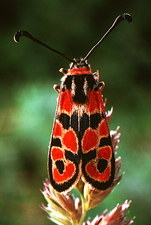 Moth, Zygaena fausta, with warning colouration