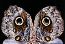 Eyespots on the wings of the Owlet moth, Caligo