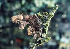 Comma butterfly, Polygonia, mimics a dead leaf