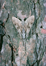 Hawkmoth, Hyloicus pinastri, camouflaged on bark