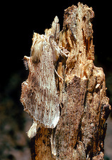 Prominent moth (Notodontidae) camouflaged on bark