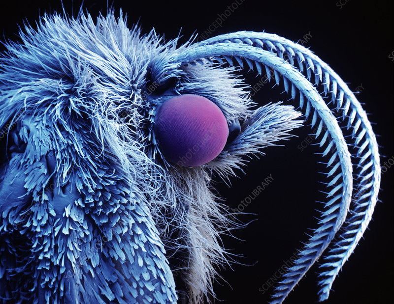 Coloured SEM of the head of the Nun moth
