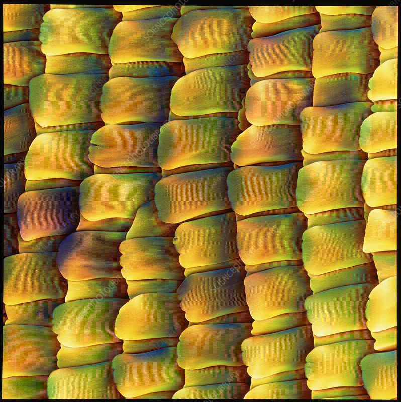 Coloured SEM of scales from the peacock butterfly