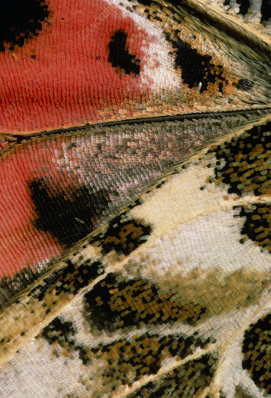 Macrophotograph of wing of painted lady butterfly