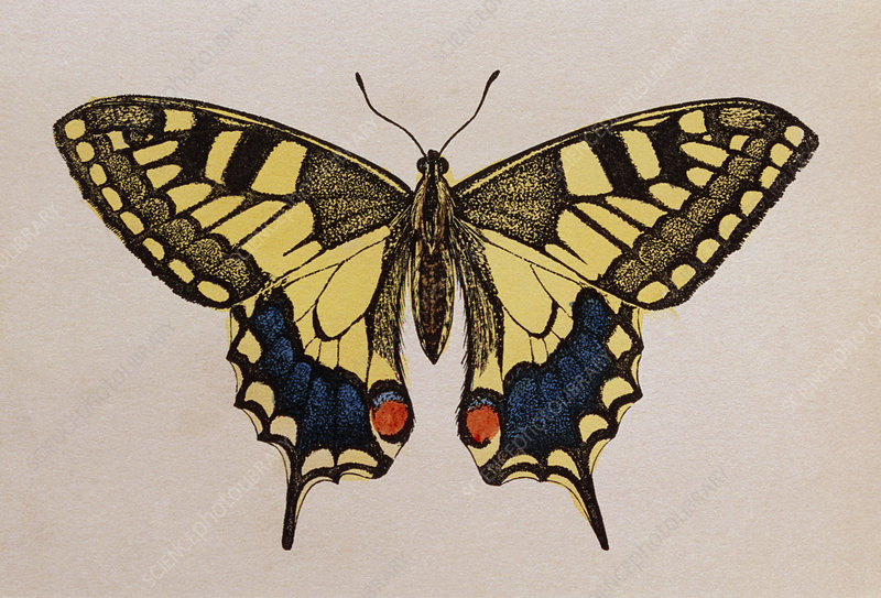 Historical engraving of a swallowtail butterfly