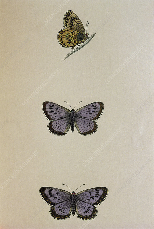 Coloured historical art of large blue butterflies
