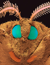 Coloured SEM of the head of a silk moth, Bombyx sp