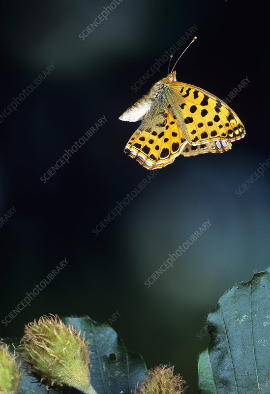View of a queen of spain fritillary butterfly