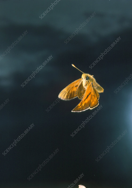 High-speed photo of a large skipper butterfly