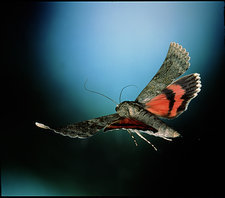 Red underwing moth in flight