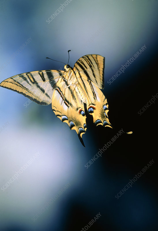 High-speed photo of a swallowtailed butterfly