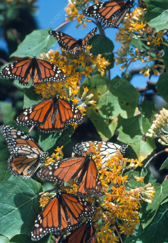 Monarch butterflies (Danaus plexippus) feeding