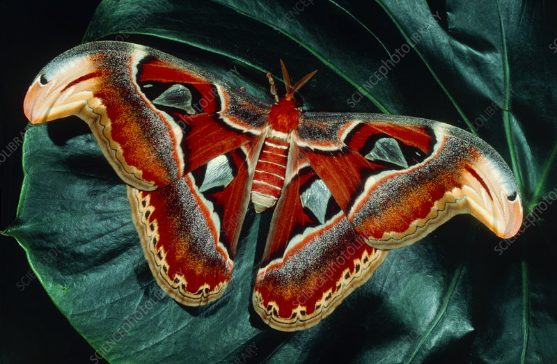 Atlas moth (Attacus atlas) on a leaf