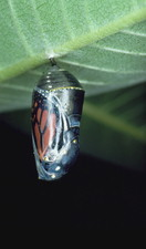 Monarch butterfly pupa